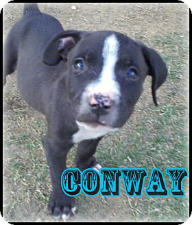 American Pit Bull Terrier/Plott Hound Mix Puppy for adoption in Bakersfield, California - Conway