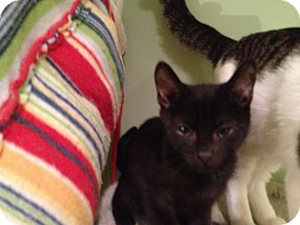 Domestic Shorthair Kitten for adoption in East Hanover, New Jersey - TJ