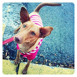 Pharaoh Hound/Vizsla Mix Puppy for adoption in Louisville, Kentucky - Cleopatra (Cleo)