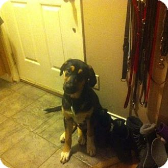 Rottweiler/Australian Shepherd Mix Puppy for adoption in Surrey, British Columbia - Finch
