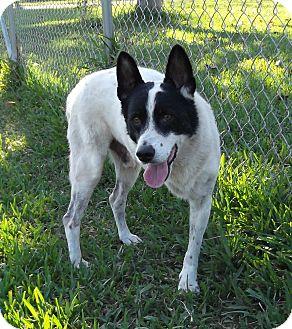 Collie/Akita Mix Dog for adoption in Key Biscayne, Florida - Zorro