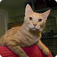Domestic Shorthair Cat for adoption in Winston-Salem, North Carolina - Dionne