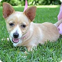 Adopt A Pet :: *Lila - PENDING - Westport, CT