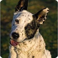 Adopt A Pet :: Dotty (Adoption Pending) - Phoenix, AZ