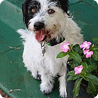 Adopt A Pet :: Boscoe - san diego, CA