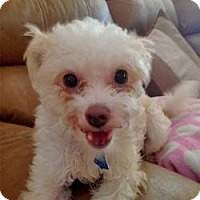Adopt A Pet :: Miss Molly - North Port, FL