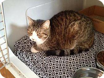 Domestic Shorthair Cat for adoption in Harrisonburg, Virginia - Hemi