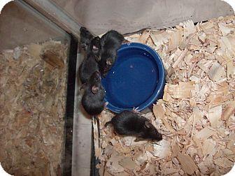 Mouse for adoption in Virginia Beach, Virginia - MICE