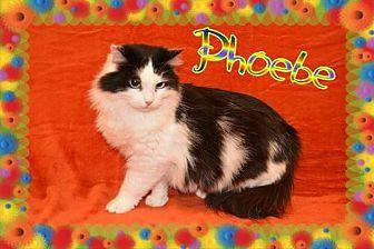 Domestic Longhair Cat for adoption in Brainardsville, New York - Phoebe