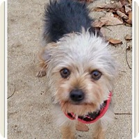 Adopt A Pet :: Brick NJ - Ace - New Jersey, NJ