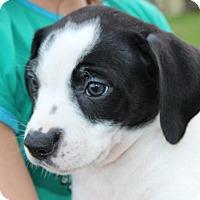 Adopt A Pet :: Raccoon - Harmony, Glocester, RI