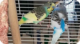 Budgie for adoption in Shawnee Mission, Kansas - Violet