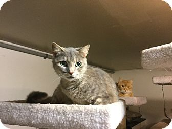 American Shorthair Cat for adoption in Medford, New York - Savannah
