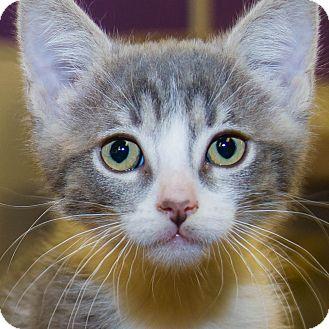 Domestic Shorthair Kitten for adoption in Irvine, California - Tinker