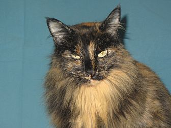 Domestic Longhair Cat for adoption in Ridgway, Colorado - Pumpkin