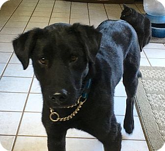 Labrador Retriever Mix Dog for adoption in San Antonio, Texas - Bogie