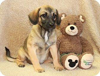 Pug/Beagle Mix Puppy for adoption in Greenwich, Connecticut - Gayle