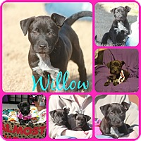 Adopt A Pet :: Willow - Ft Worth, TX