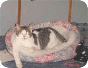 Domestic Shorthair Cat for adoption in Montreal, Quebec - Dick