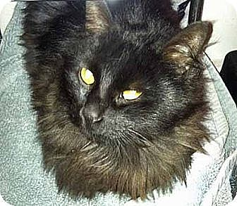 Maine Coon Cat for adoption in Brooklyn, New York - Juno - Adopted!