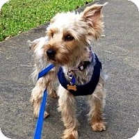 Adopt A Pet :: Bentley - Homestead, FL