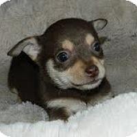 Adopt A Pet :: Lilly Putt - Staunton, VA