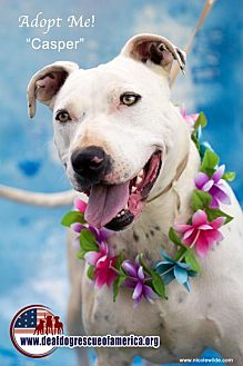 Dogo Argentino/Dalmatian Mix Dog for adoption in Acton, California - Casper