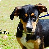 Adopt A Pet :: Gator - Daleville, AL