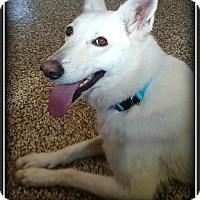 Adopt A Pet :: Angel - Doylestown, PA