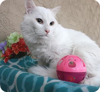 Domestic Shorthair Cat for adoption in Phoenix, Arizona - Powder