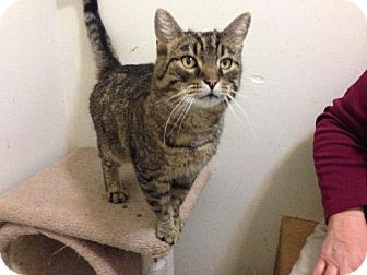 Domestic Shorthair Cat for adoption in Columbus, Ohio - Pudgy