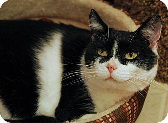 Domestic Shorthair Cat for adoption in Winchendon, Massachusetts - Catalina