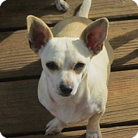 Chihuahua Dog for adoption in Williston Park, New York - CHIQUITA