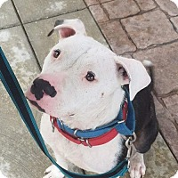 American Pit Bull Terrier Dog for adoption in Louisville, Kentucky - Mikey