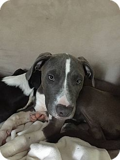 Labrador Retriever Mix Dog for adoption in Phoenxville, Pennsylvania - Yappy Hour Regulars