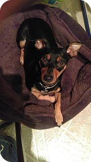 Miniature Pinscher/Chihuahua Mix Dog for adoption in China, Michigan - GIna