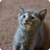 American Shorthair Kitten for adoption in Morgantown, West Virginia - Barbie
