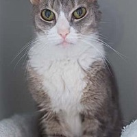 Domestic Shorthair Cat for adoption in Merrifield, Virginia - Scout