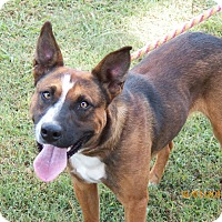 Adopt A Pet :: Copper - Boston, MA