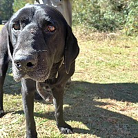 Labrador Retriever Mix Dog for adoption in Stamford, Connecticut - Remy