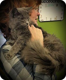 Maine Coon Cat for adoption in Fairborn, Ohio - Verity