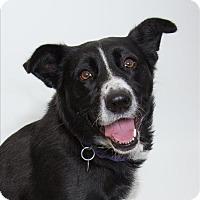 Adopt A Pet :: Cobalt - San Luis Obispo, CA