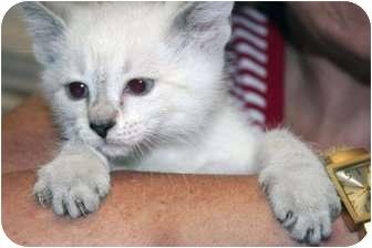 Siamese Kitten for adoption in Cincinnati, Ohio - Red Bank Orientals