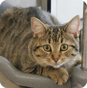 Domestic Shorthair Cat for adoption in Verdun, Quebec - Chance