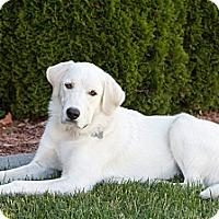 Adopt A Pet :: Neve - Seattle, WA