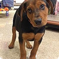 Adopt A Pet :: Andrew - Phoenix, AZ