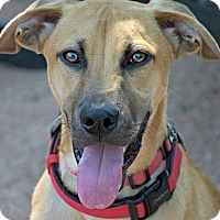 Adopt A Pet :: Scrappy Cornelius Doo - Austin, TX