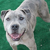 American Staffordshire Terrier Mix Dog for adoption in Toluca Lake, California - Spotticus