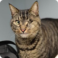 Domestic Shorthair Cat for adoption in Atlanta, Georgia - St. Nick	151997