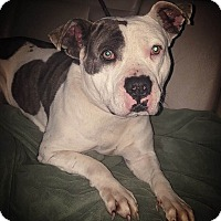 American Staffordshire Terrier Mix Dog for adoption in Covington, Tennessee - Bentley